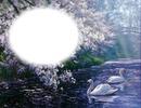 Cygnes-nature