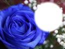 Rose bleue-fleur-nature