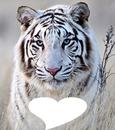 Tigre blanc tigré