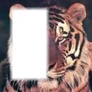 visage moitier tigre