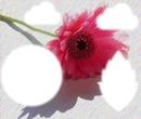 Rose rose animée