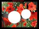 Amaryllis-rouge
