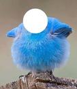 gros oiseau bleu