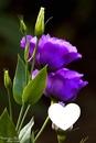 Mes violette