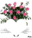 roses rose