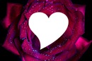 rose coeur