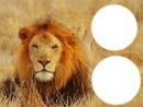 lion a deux cadres