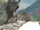 amour de marmottes