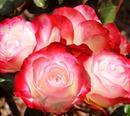 das leuchten durch die Rose
