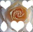Rose jaune scène