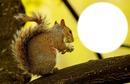 écureuil*