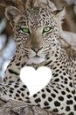 léopard N°1