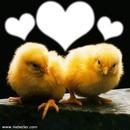 Baby Chikens
