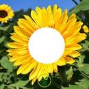 fleur tournesol