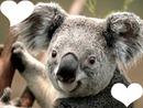 Koala d'amour
