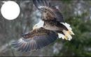 free as an Eagle
