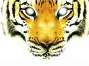 visage tigre