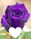 Ma belle rose violette