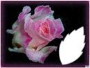 /*bouton de rose givrée*/
