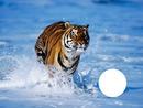 tigre à la mer