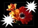 Fleurs*