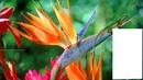 fleur du paradis