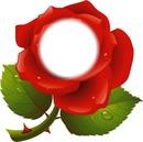 mi rosa favorita