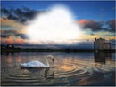 Swan on Lake in Scotland