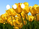 tulipes and friend