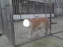 Visage de tigre