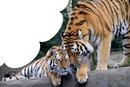 les deux tigres