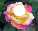 Rosa # 1