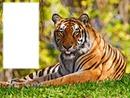Tiger 77