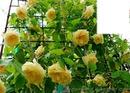 Les roses jaune