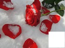 rose + neige
