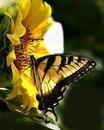 Cc Mariposa con girasol