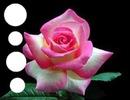 Pink rose (trandafir roz)