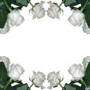 Paul White Roses