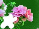Jolies roses*