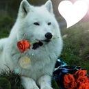 Le loup apportant une rose