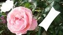 La plus belle des Fleurs...
