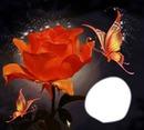Rose et papillons