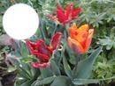 2014 04 07 Tulipes de mon jardin