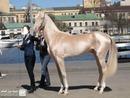 Turkish beautiful horse