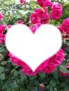 roses de beau papa