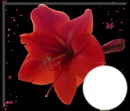 Amaryllis -rouge
