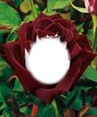 Rosa em botão