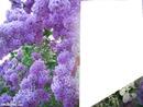 lilas mauve laly