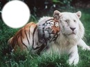 tigre et lion blanc