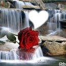 una rosa mas